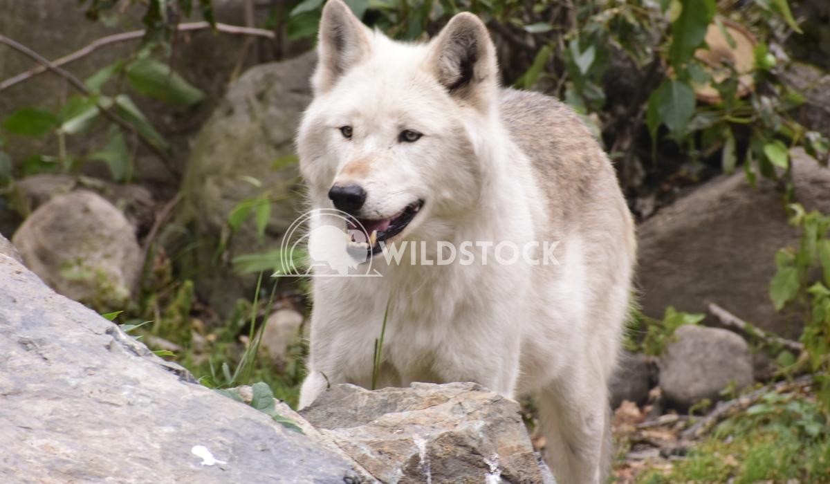 White wolf smiling Gordon Lindgren