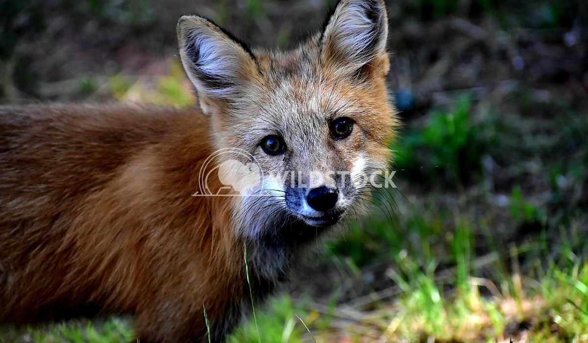 PennyB: Red Fox Penny Breytenbach Red Fox