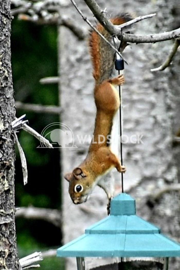PennyB: Squirrel Penny Breytenbach Squirrel stealing bird food