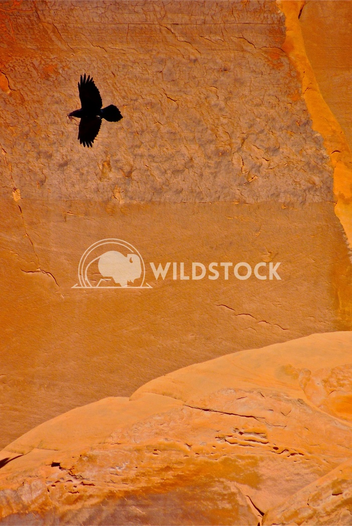 Raven in canyon  John Anglim