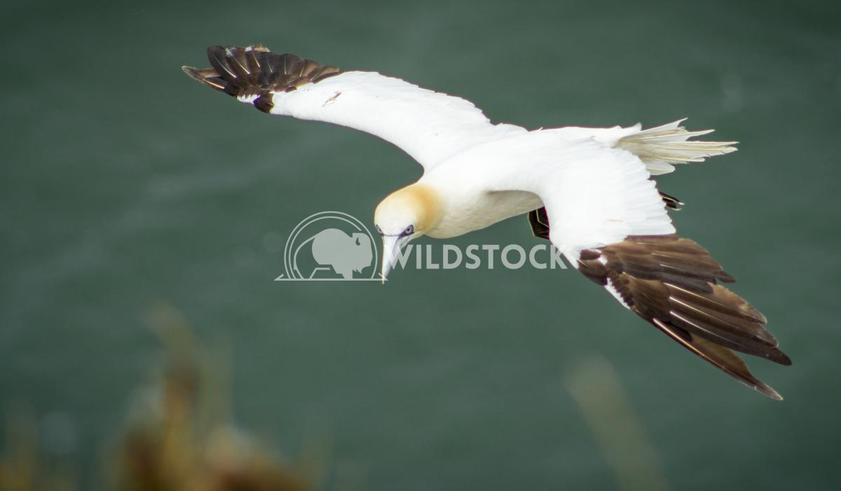 Gannet Bempton Flying 1 Keith Hunter