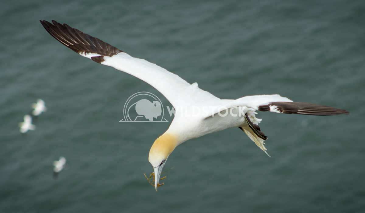 Gannet Bempton Flying 3 Keith Hunter