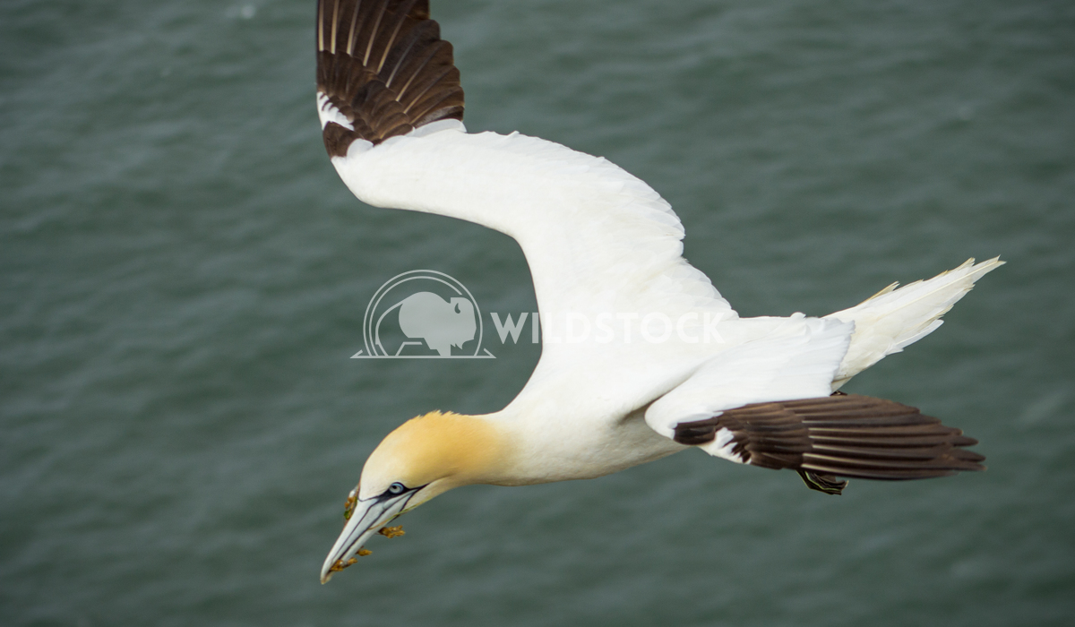 Gannet Bempton Flying 5 Keith Hunter