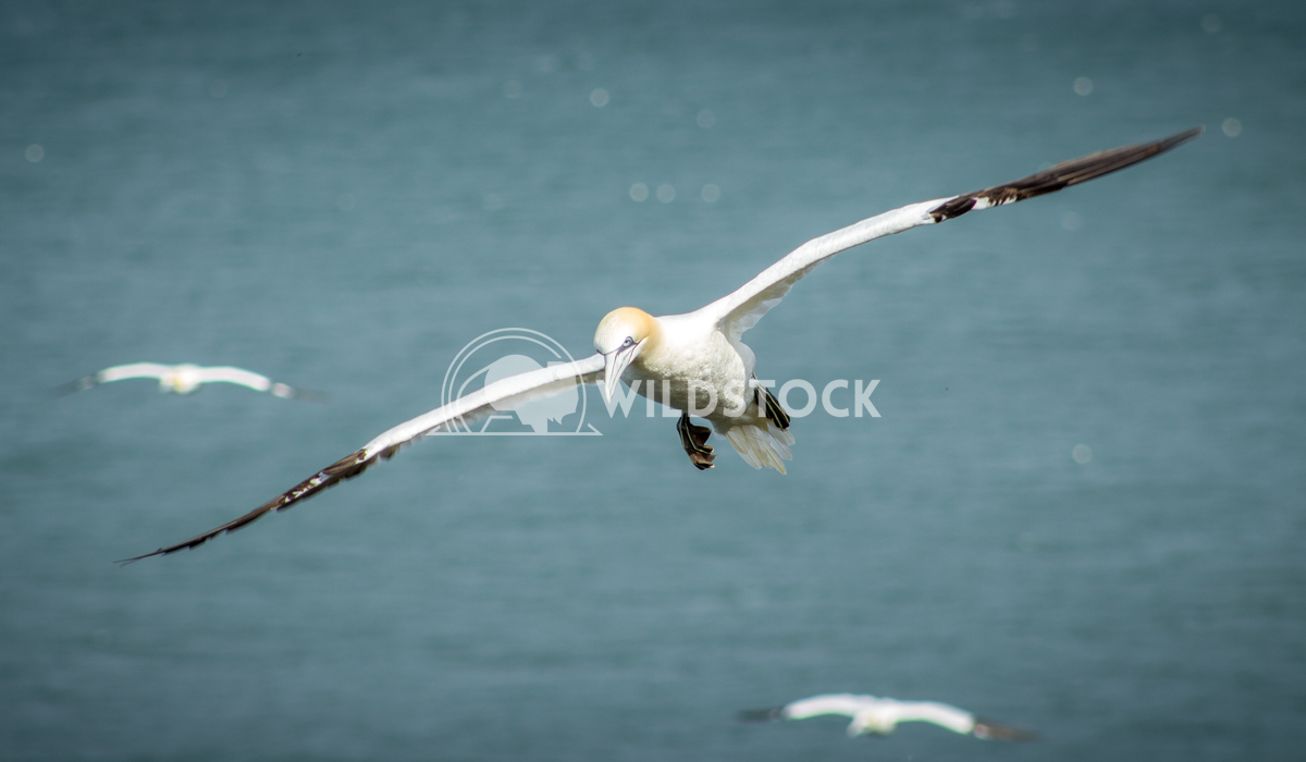 Gannet flying above the sea Keith Hunter