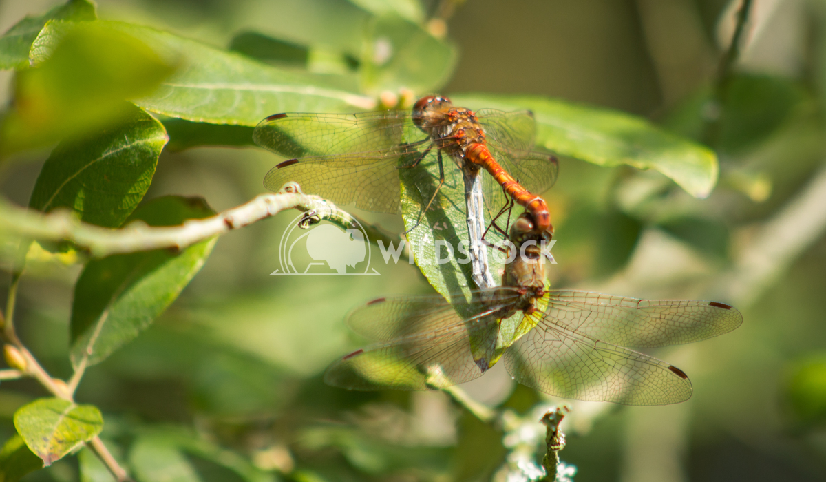 Dragonflies mating Keith Hunter