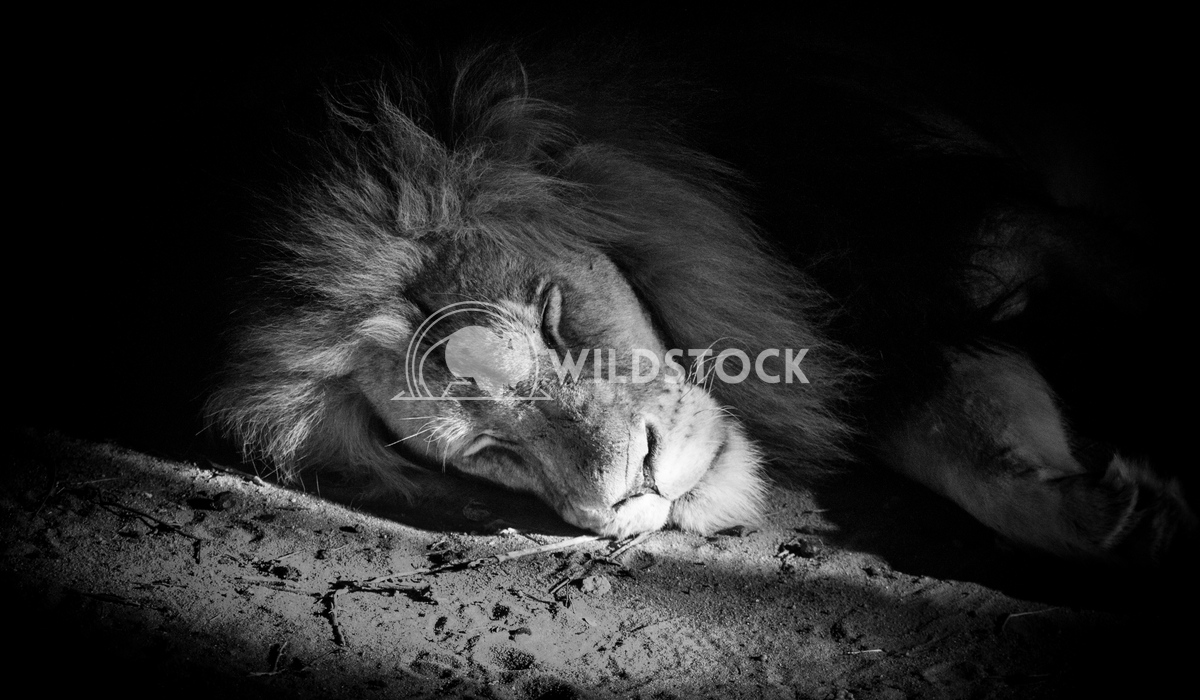 Sleeping lion Keith Hunter