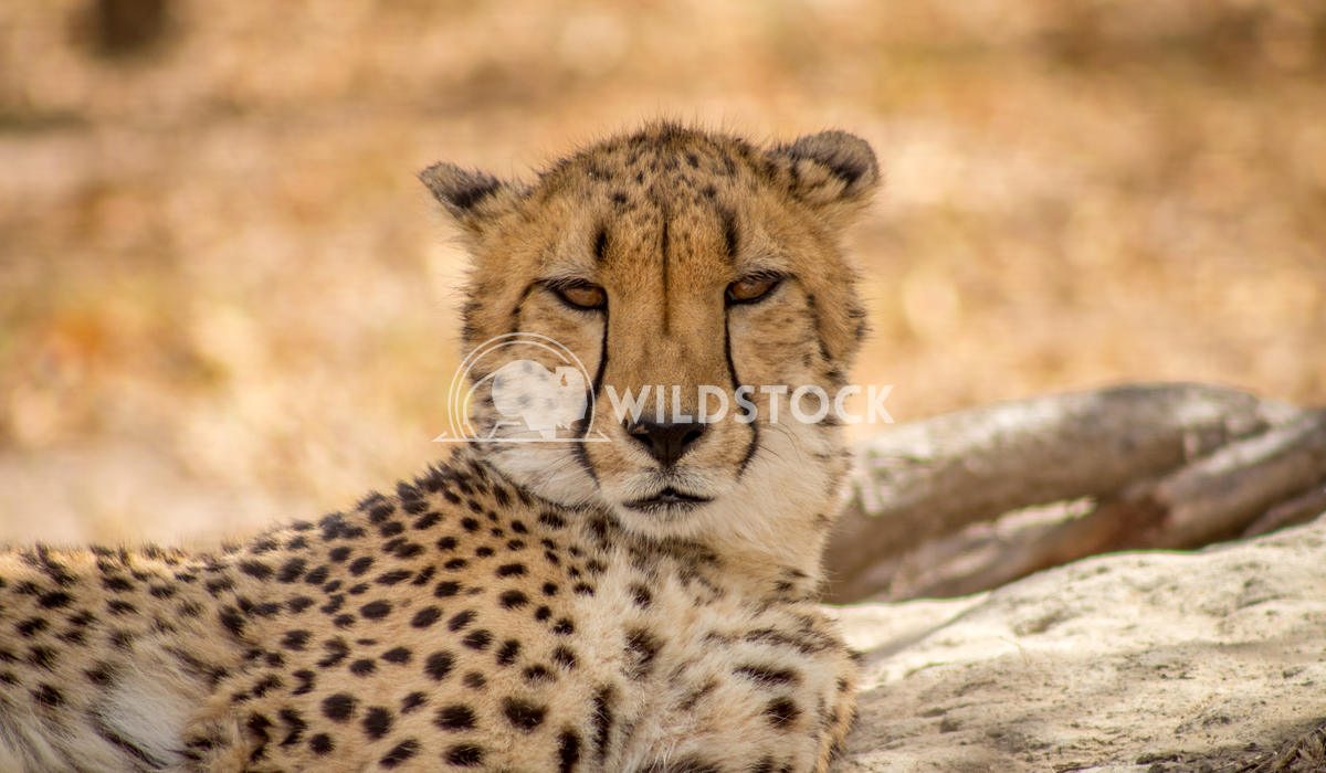 Cheetah adult staring Keith Hunter