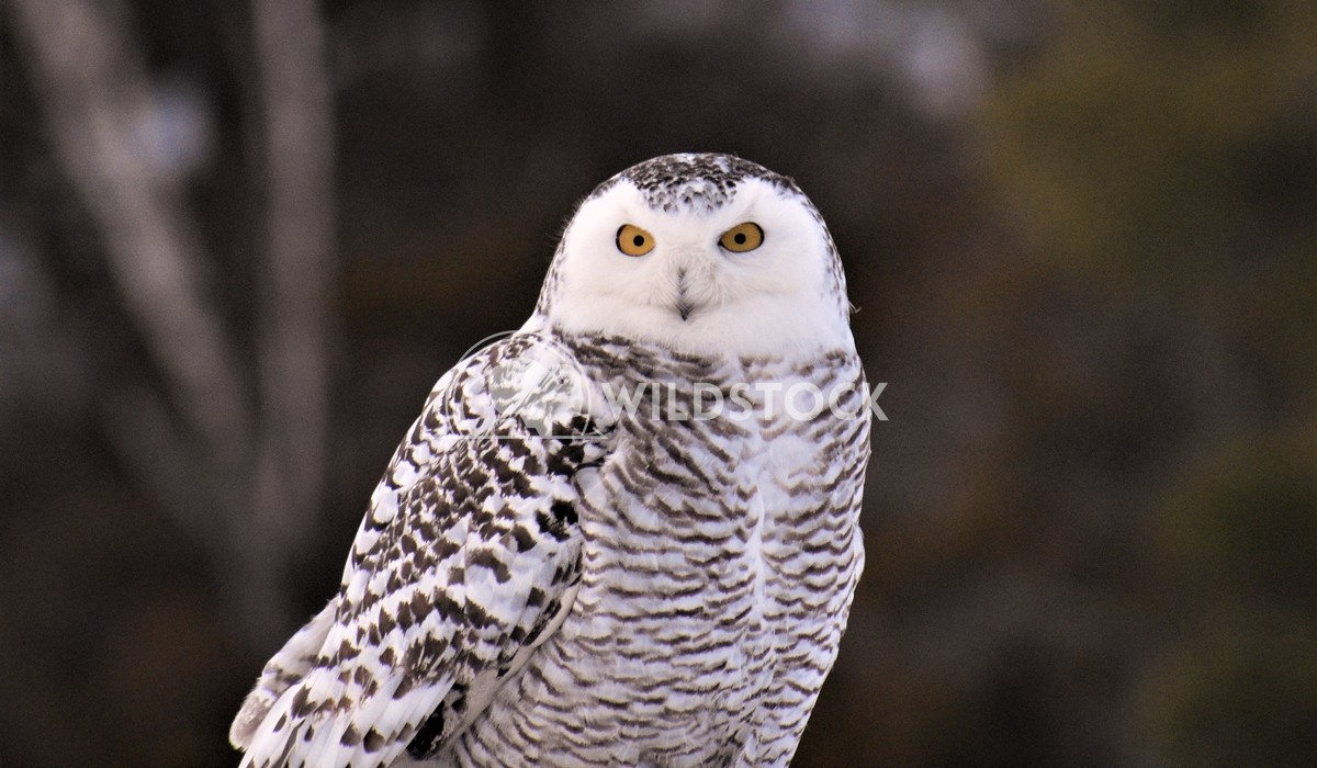 Snowy Owl Gordon Lindgren