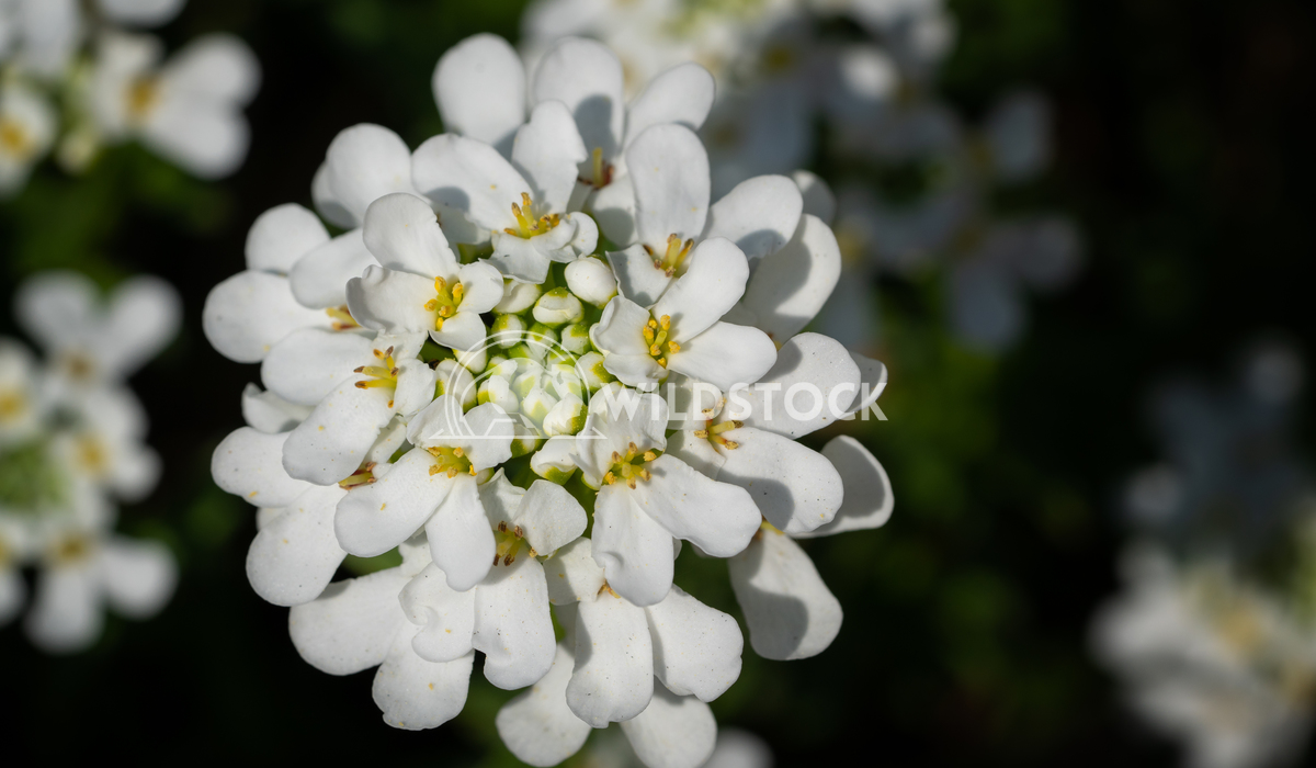Evergreen Candytuft, Iberis sempervirens 1 Alexander Ludwig Evergreen Candytuft (Iberis sempervirens), blossoms of sprin