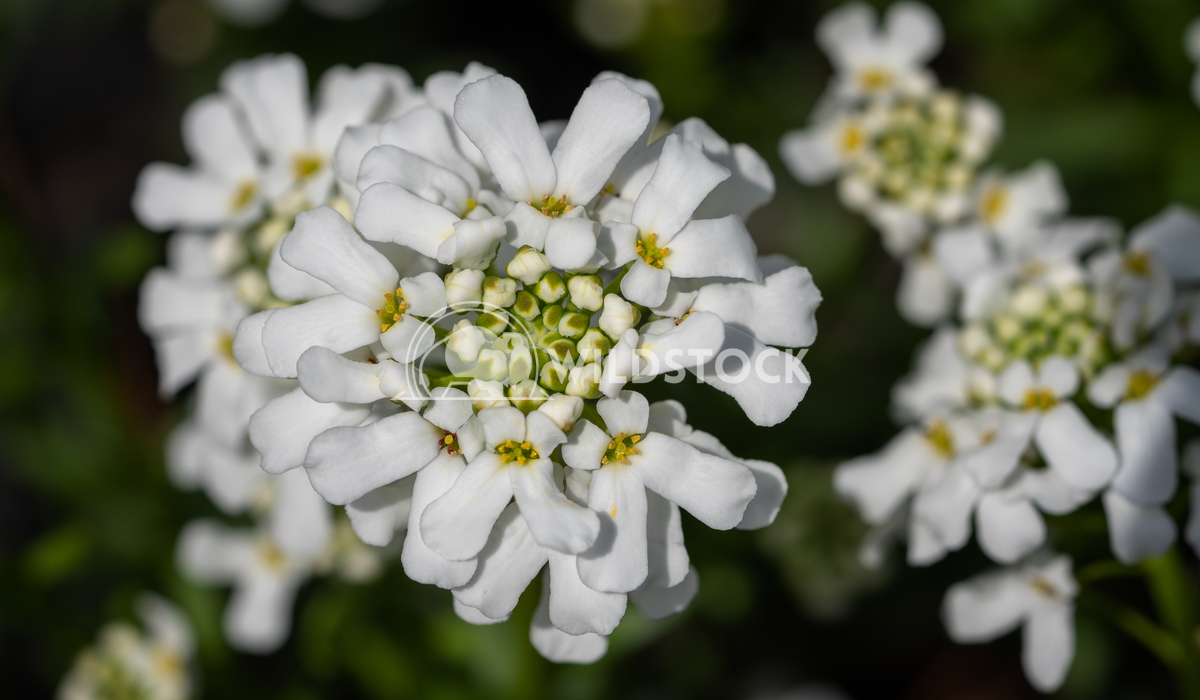 Evergreen Candytuft, Iberis sempervirens 2 Alexander Ludwig Evergreen Candytuft (Iberis sempervirens), blossoms of sprin