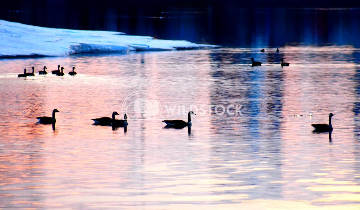 Sunset geese Gordon Lindgren