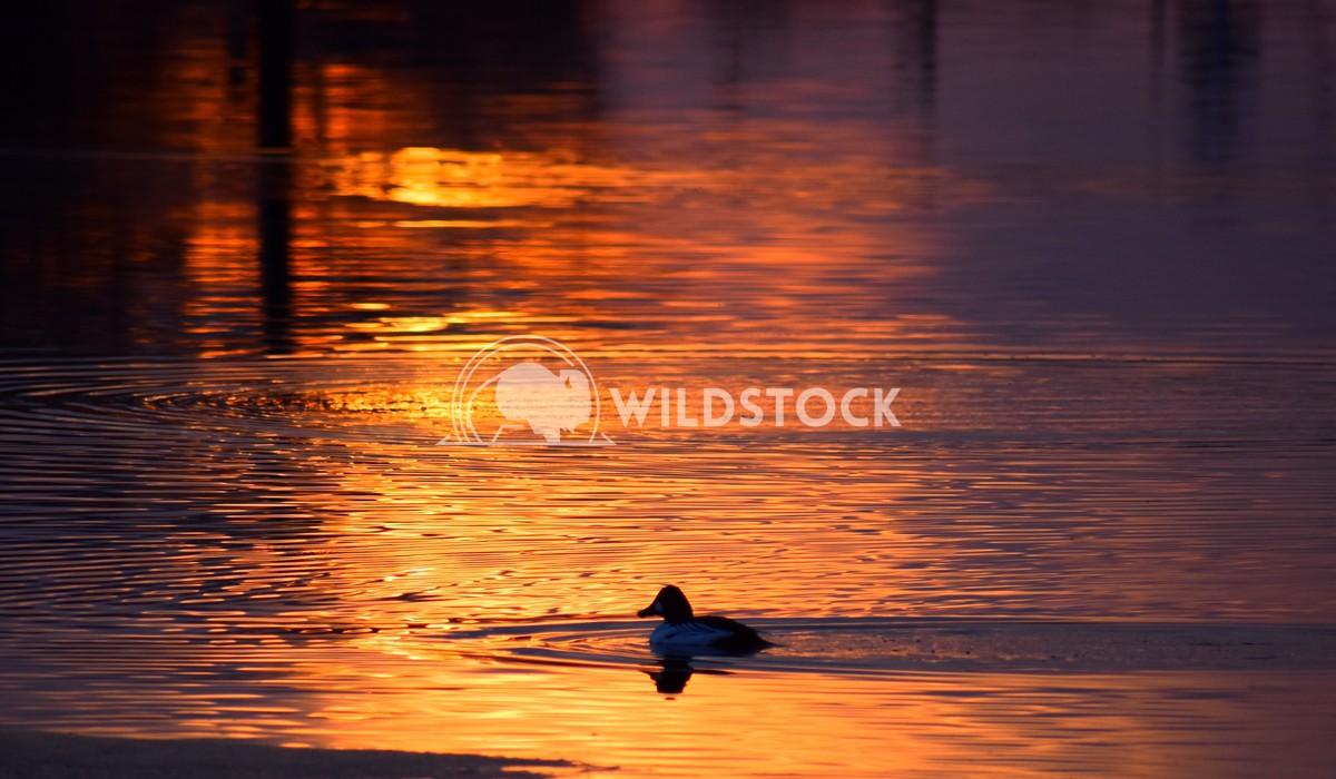Sunset duck Gordon Lindgren