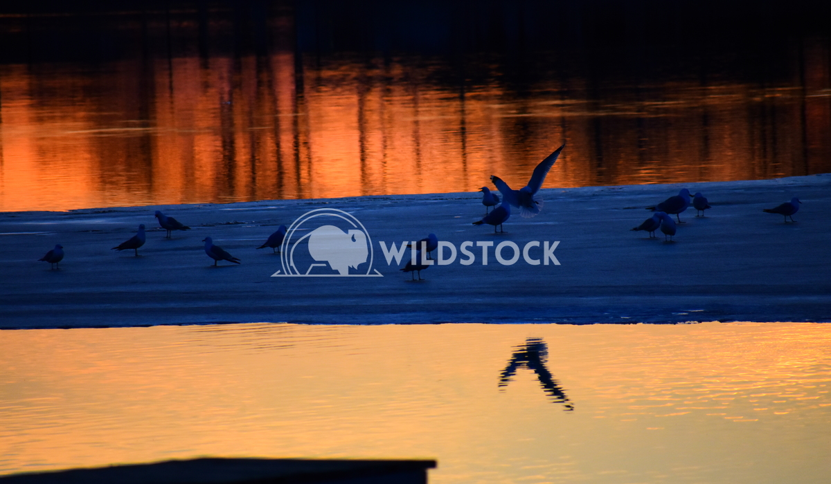 Seagulls Arrive North Gordon Lindgren