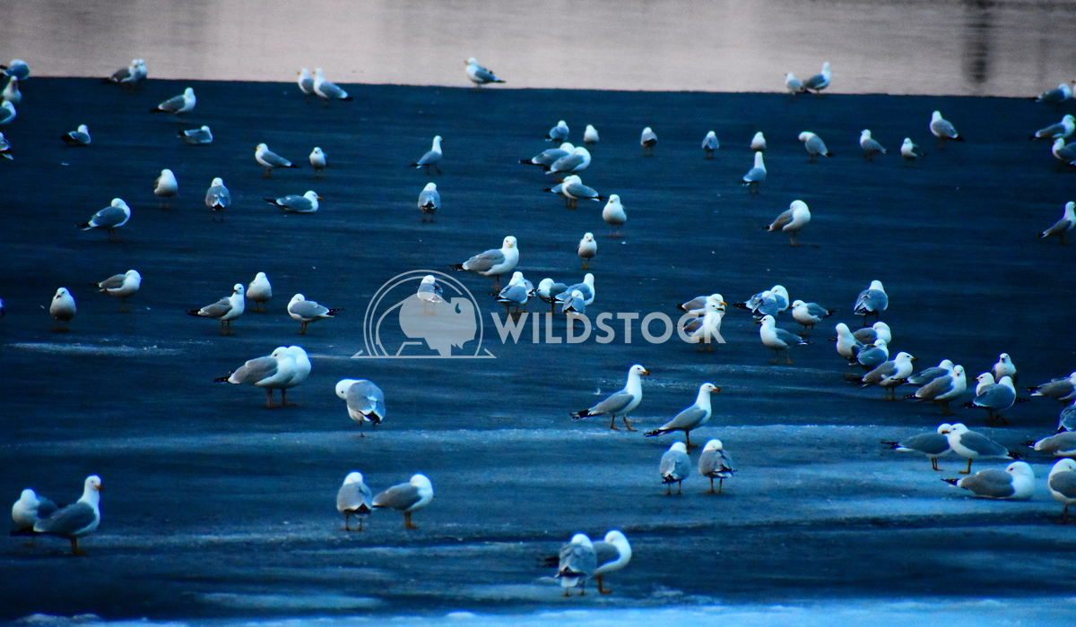 Seagulls Are Back Gordon Lindgren