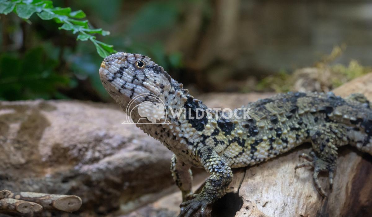 Chinese Crocodile Lizard, Shinisaurus crocodilurus Alexander Ludwig Chinese Crocodile Lizard (Shinisaurus crocodilurus)