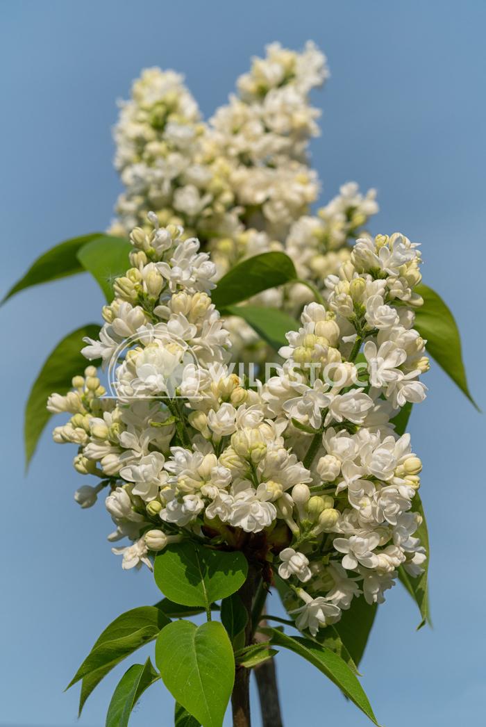 Common Lilac, Syringa vulgaris Alexander Ludwig Common Lilac (Syringa vulgaris), flowers of springtime