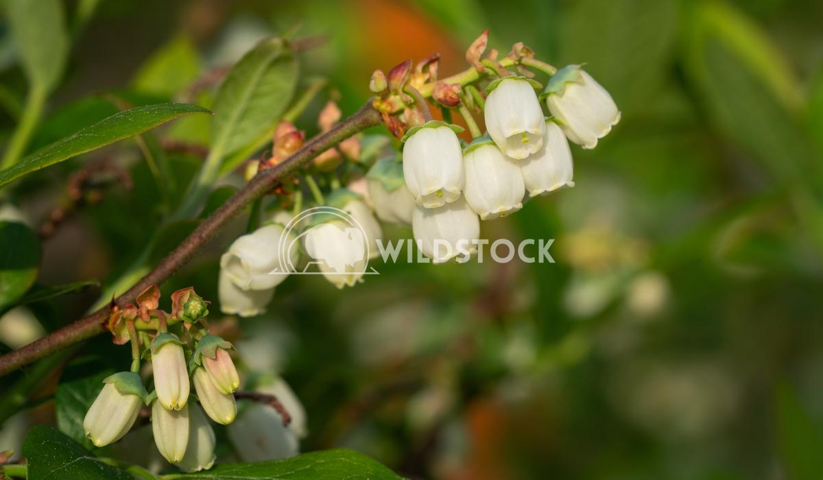 Blueberry, Vaccinium myrtillus 5 Alexander Ludwig Blossom of Blueberry (Vaccinium myrtillus)