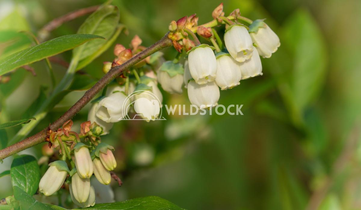 Blueberry, Vaccinium myrtillus 6 Alexander Ludwig Blossom of Blueberry (Vaccinium myrtillus)