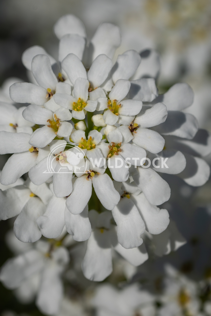 Evergreen Candytuft, Iberis sempervirens 3 Alexander Ludwig Evergreen Candytuft (Iberis sempervirens), blossoms of sprin