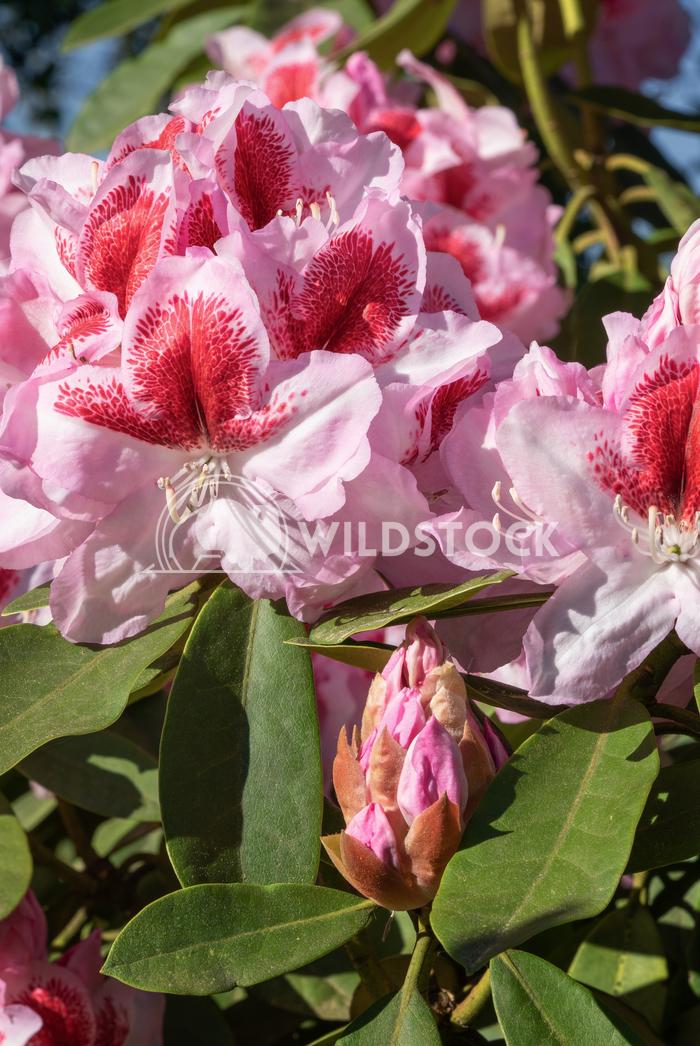 Rhododendron Hybrid Belami, Rhododendron hybrid 3 Alexander Ludwig Rhododendron Hybrid Belami (Rhododendron hybrid), clo