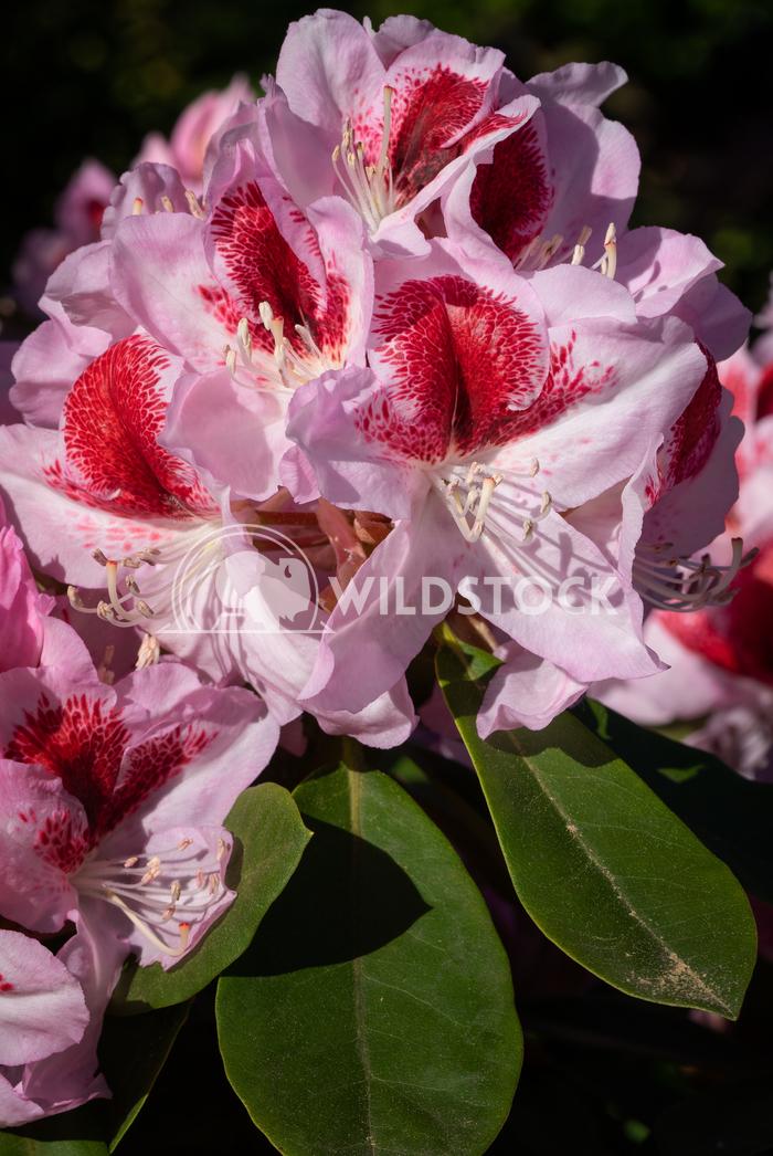 Rhododendron Hybrid Belami, Rhododendron hybrid 2 Alexander Ludwig Rhododendron Hybrid Belami (Rhododendron hybrid), clo