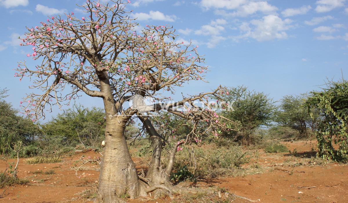 Desert-rose, Ethiopia, Africa 1 Alexander Ludwig Desert-rose in the south of Ethiopia, Africa