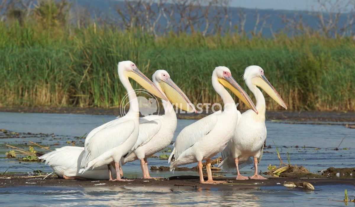 Pelican, Lake Chamo, Ethiopia, Africa 1 Alexander Ludwig Great White Pelicans, Lake Chamo, Ethiopia, Africa