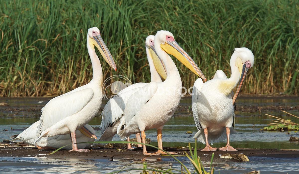 Pelican, Lake Chamo, Ethiopia, Africa 3 Alexander Ludwig Great White Pelicans, Lake Chamo, Ethiopia, Africa