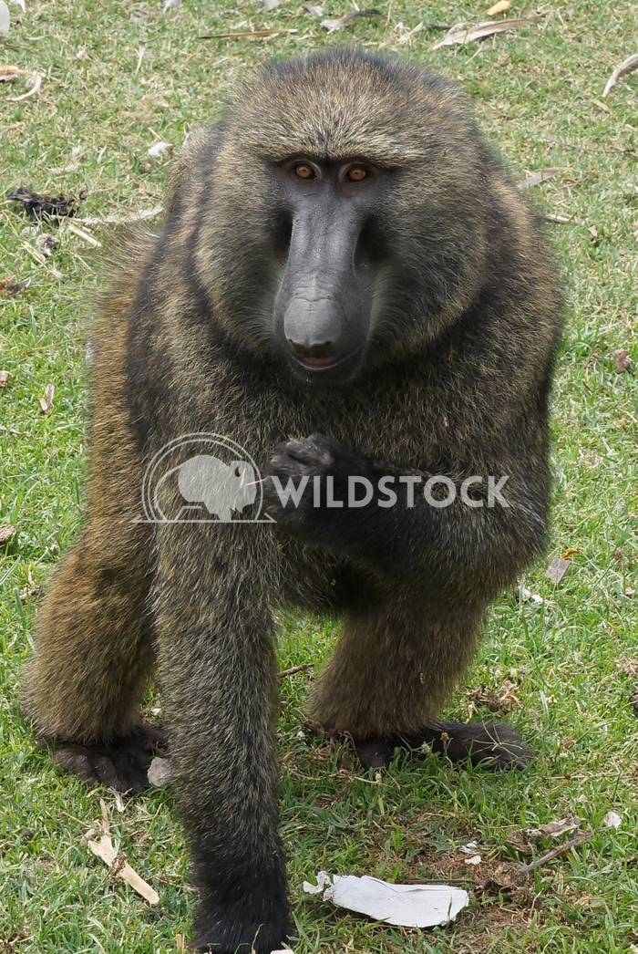 Baboon, Ethiopia, Africa 1 Alexander Ludwig Baboon in the Jinka-Mago National Park, Ethiopia, Africa