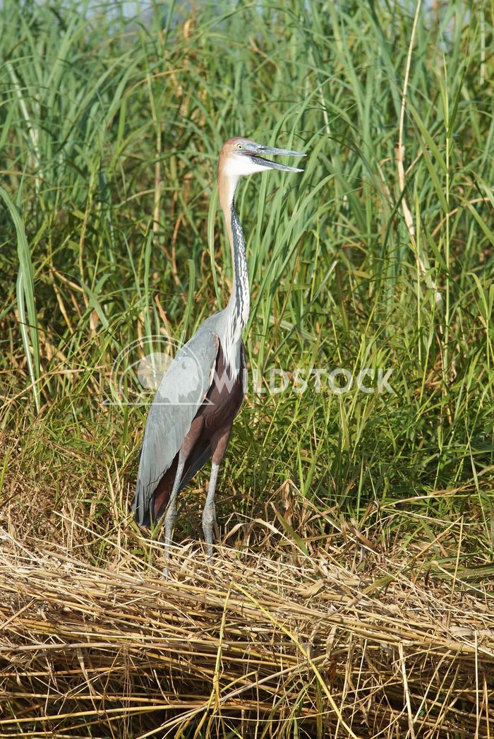 Heron, Lake Chamo, Ethiopia, Africa 2 Alexander Ludwig Goliath Heron, Lake Chamo, Ethiopia, Africa