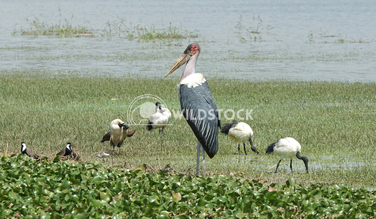 Marabou Stork, Great Rift Valley, Ethiopia, Africa Alexander Ludwig Marabou Stork and Sacred Ibis, Great Rift Valley, Et