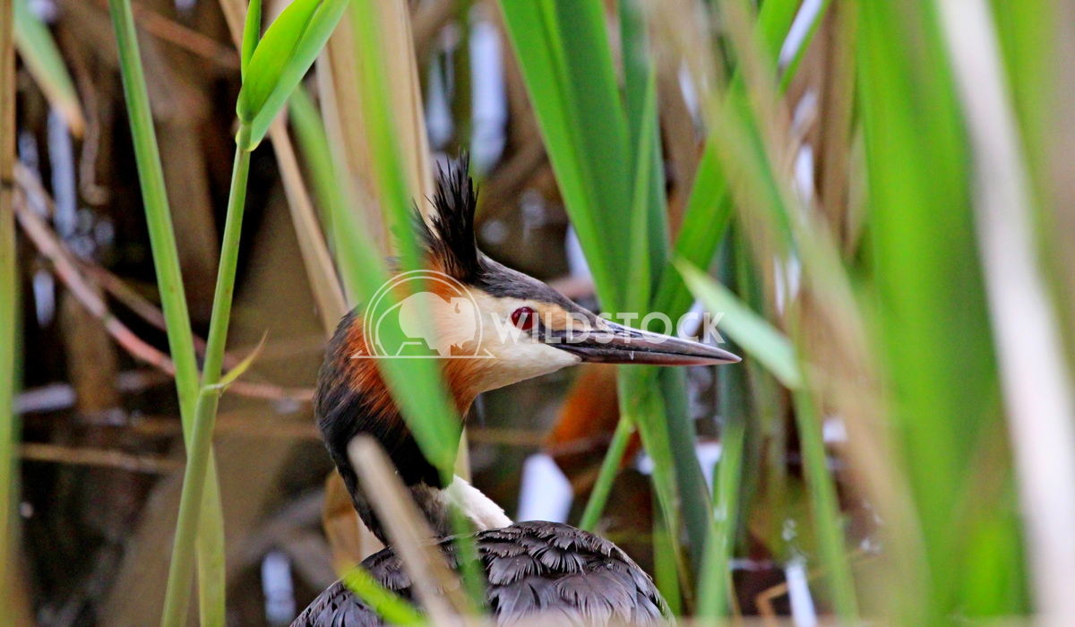 Great crested Grebe hiding in the reeds Scott Duffield