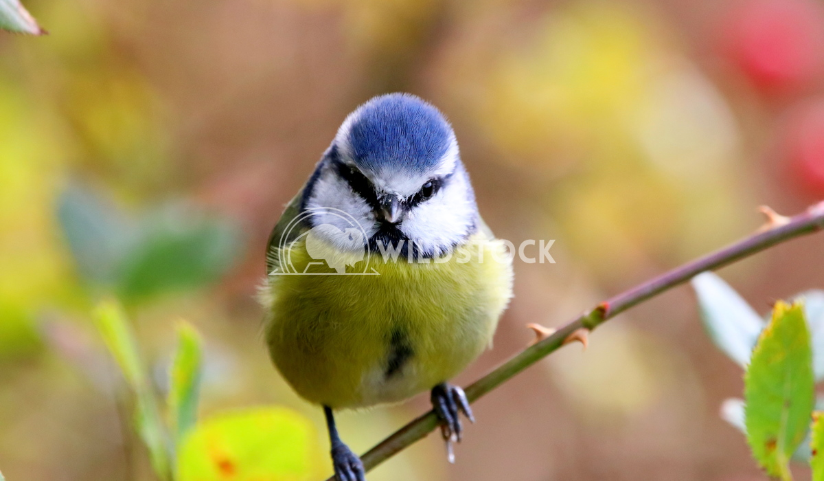 Blue tit bird sat on a branch Scott Duffield