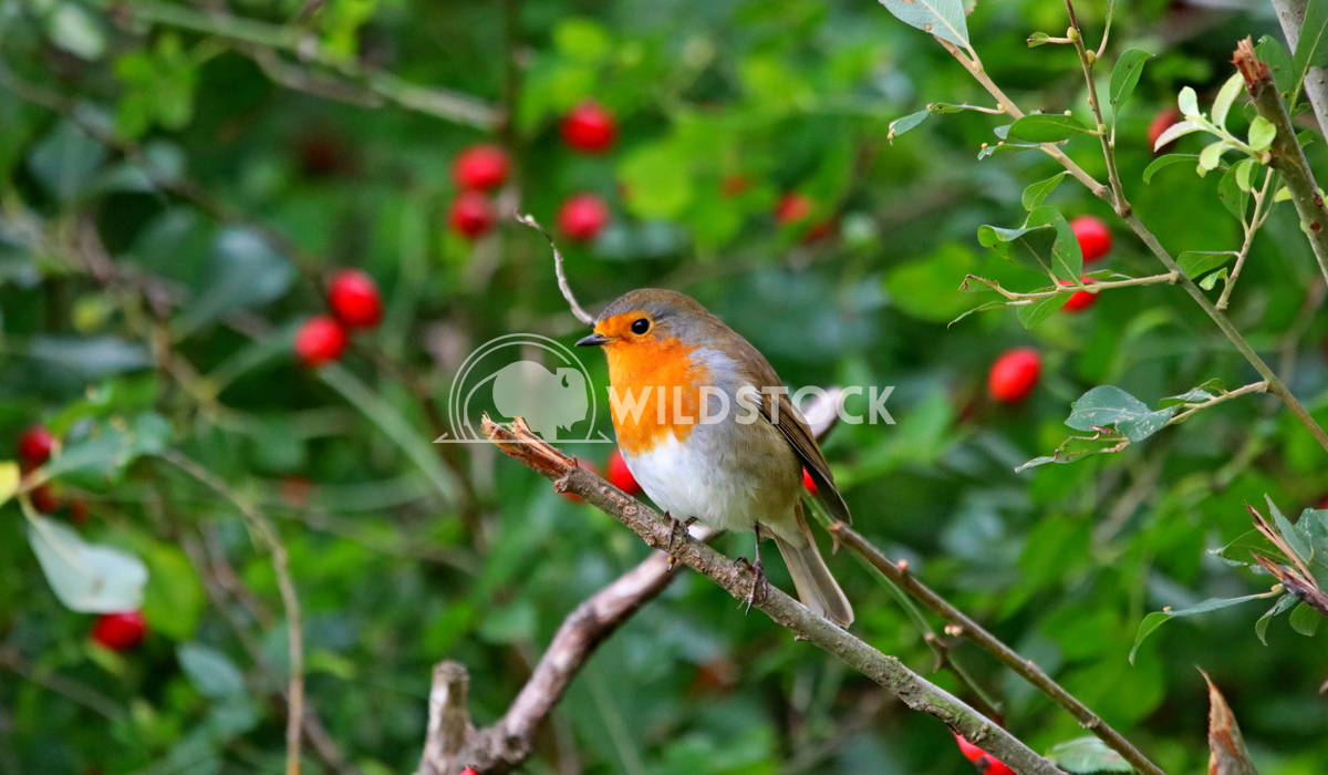 Christmas robin sat in a berry tree Scott Duffield
