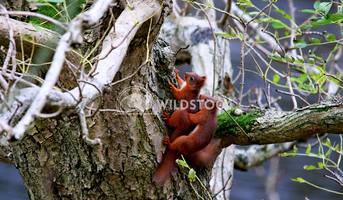 Red squirrels mating  Scott Duffield