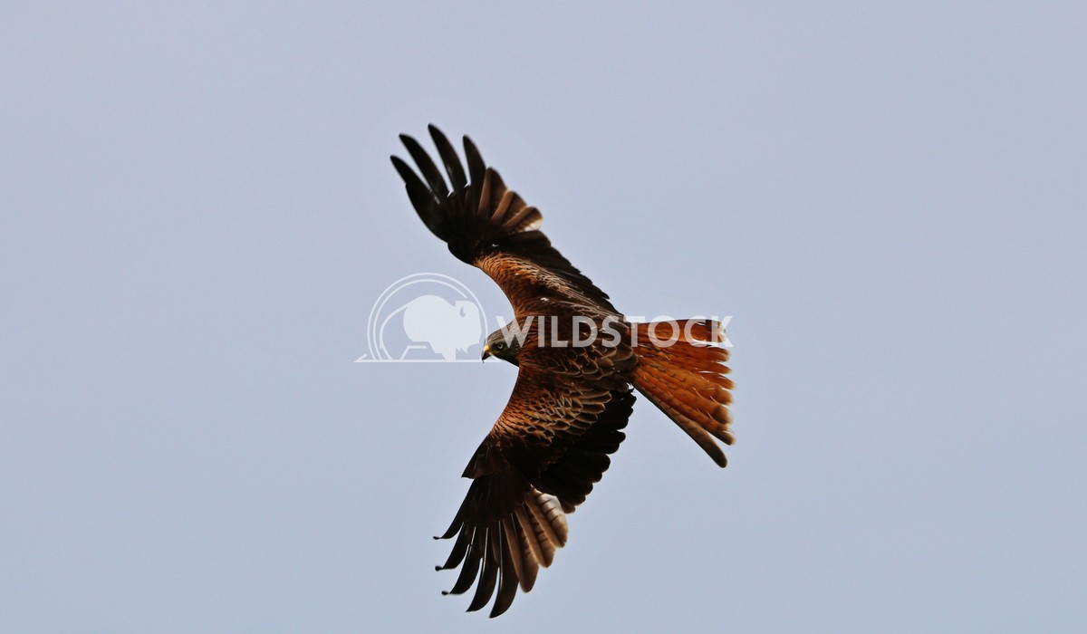 Bird of prey Red Kite soaring Scott Duffield