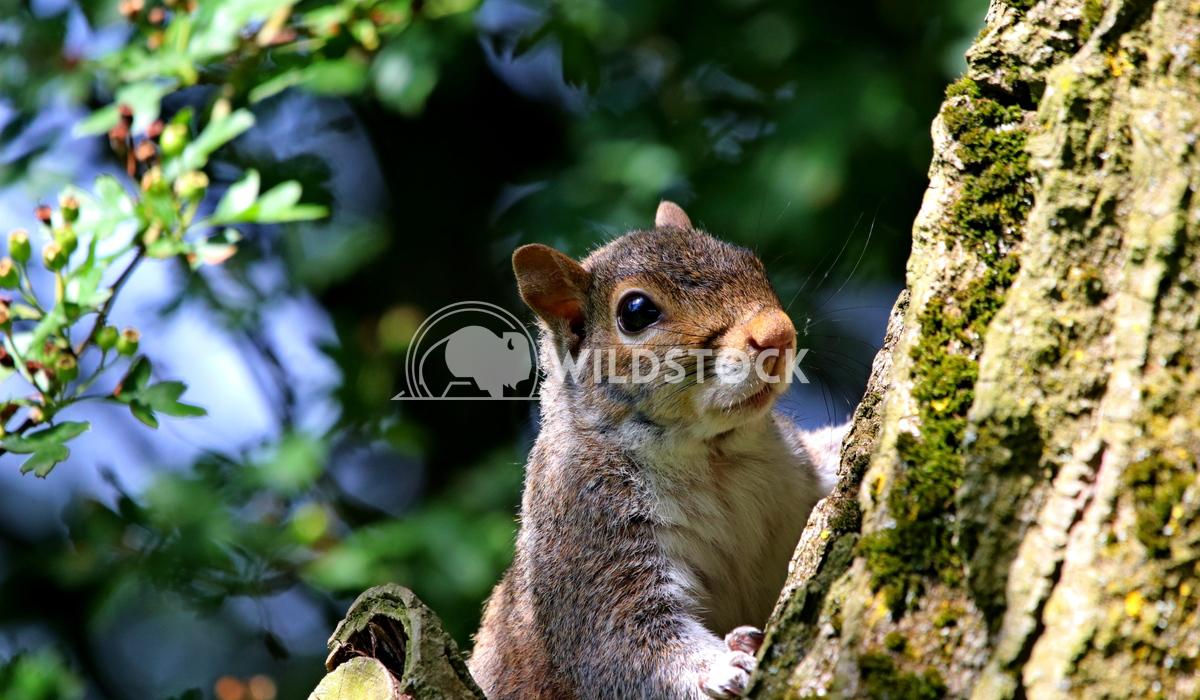 Spring Squirrel sunbathing Scott Duffield
