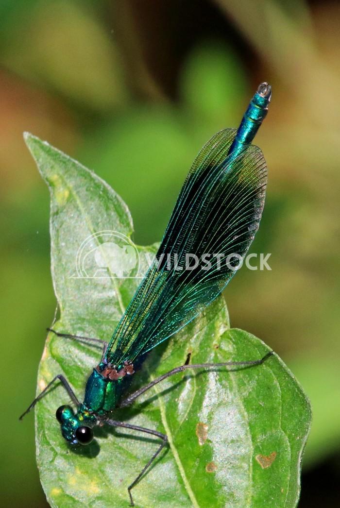 Blue green damselfly dragonfly  Scott Duffield