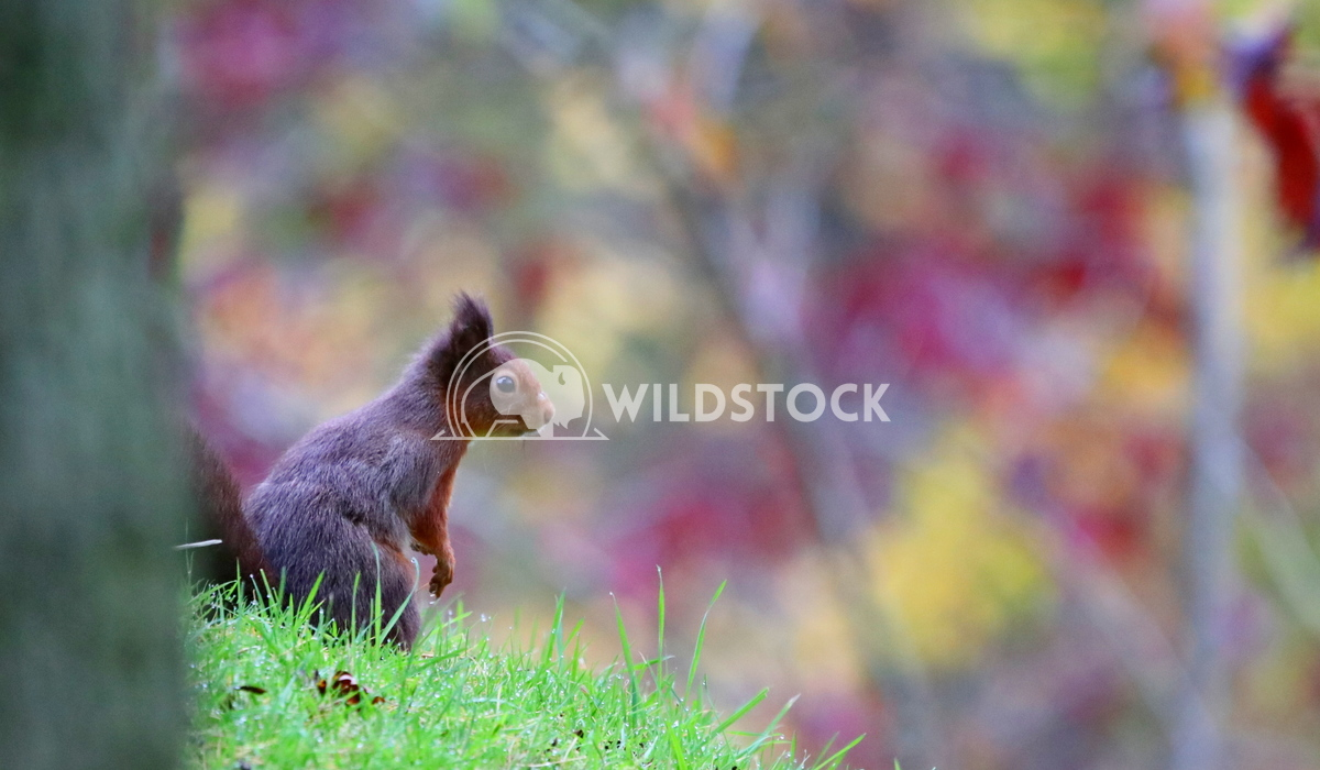 Red squirrel with autumn background Scott Duffield