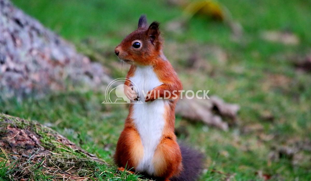 Red squirrel stood up Scott Duffield