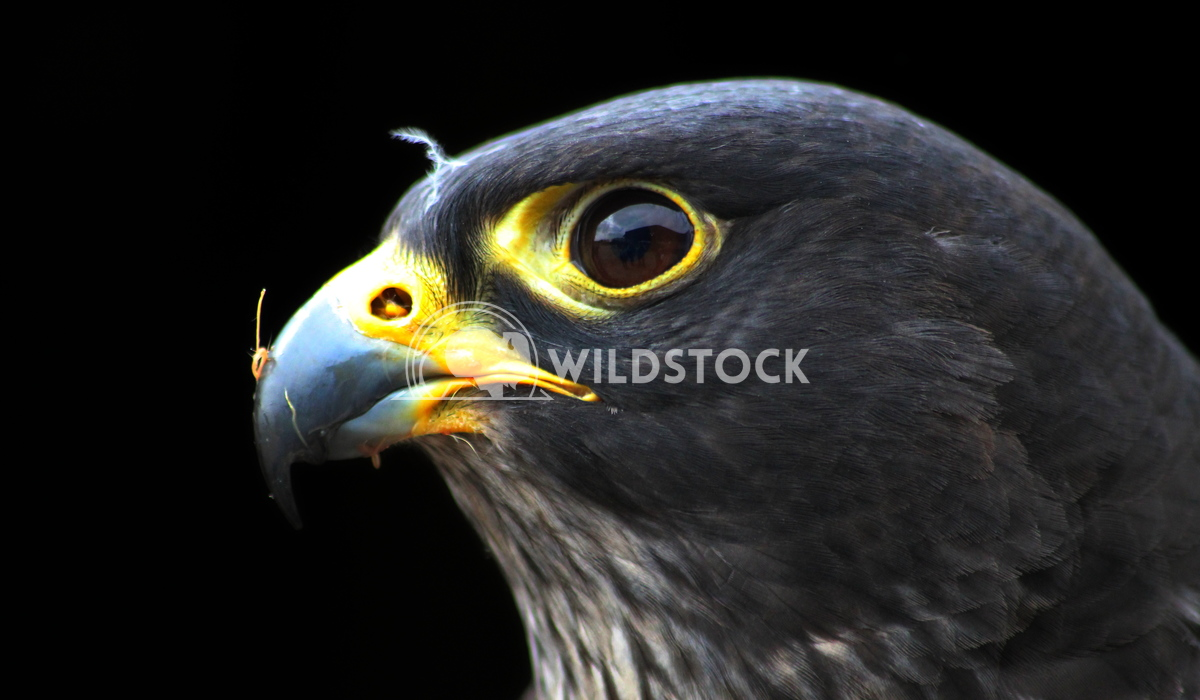 Falcon bird of prey staring with intent Scott Duffield