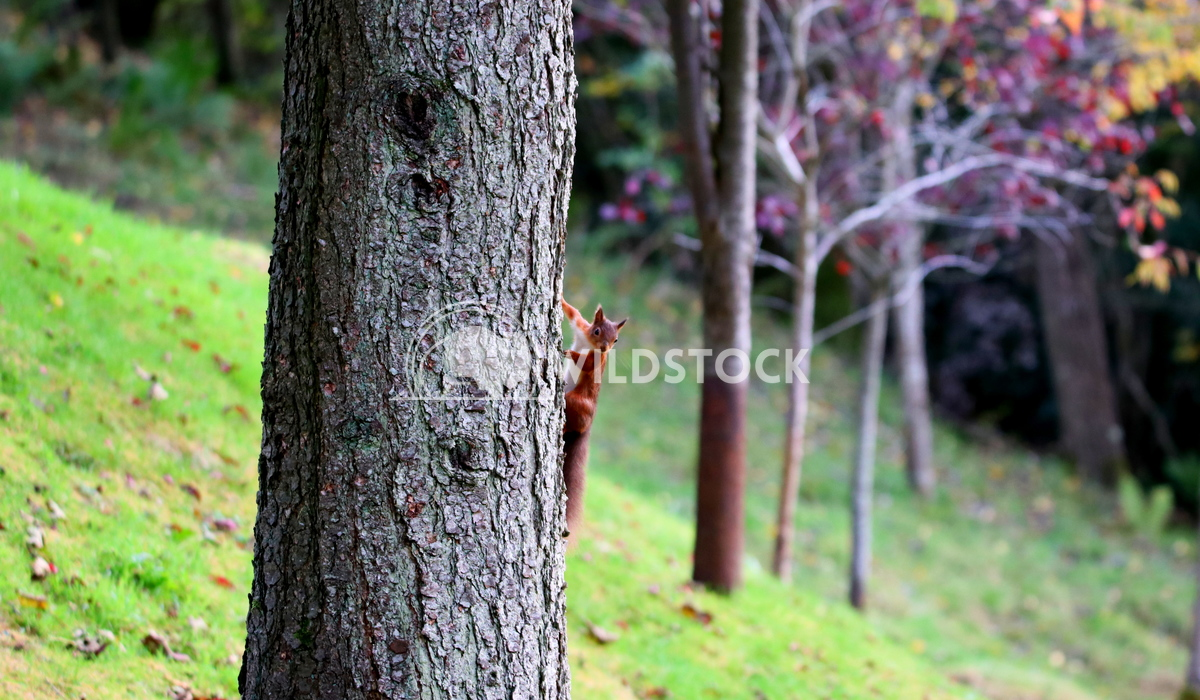Red squirrel running up a tree in autumn Scott Duffield