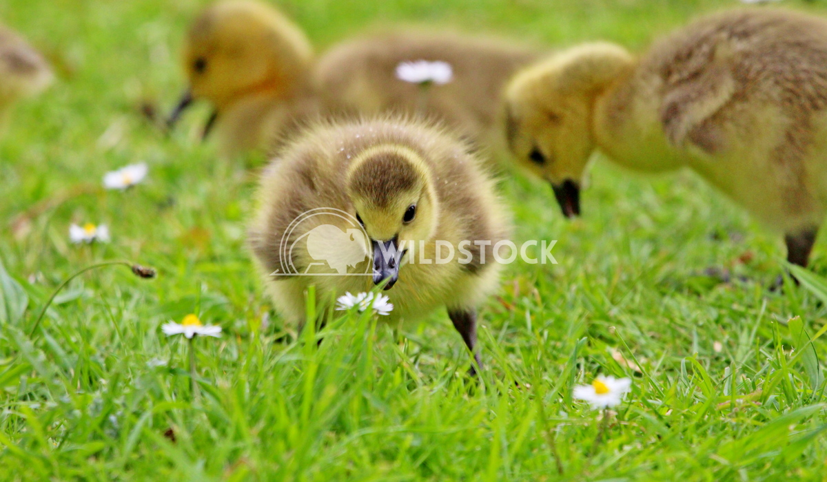 Cute duckling gosling staring at a flower Scott Duffield