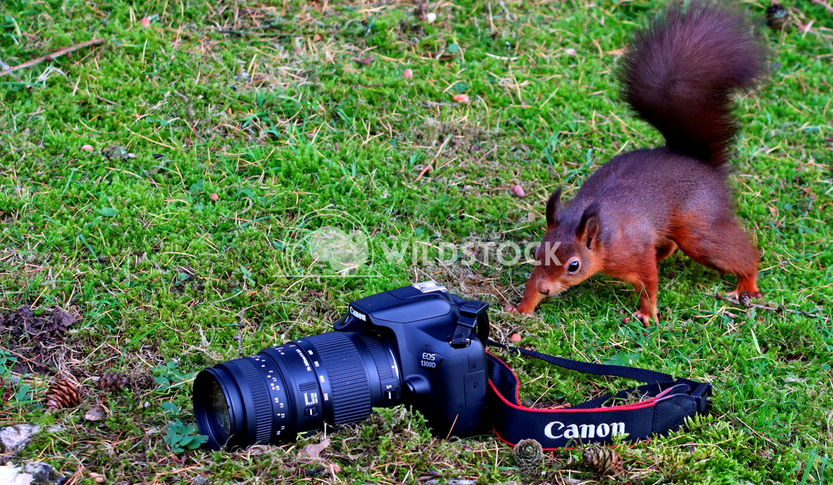 Red squirrel staring at the canon camera  Scott Duffield