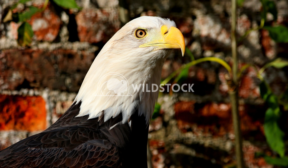 American bald eagle  Scott Duffield