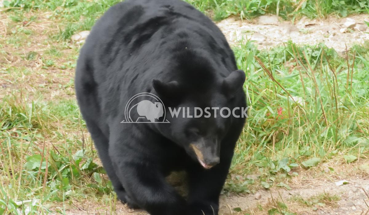 Huge Black Bear Gordon Lindgren