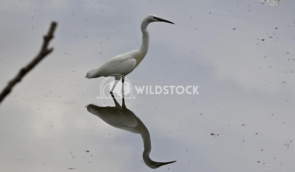 Little egret reflecting  Scott Duffield