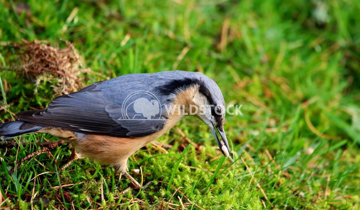 Nut hatch bird foraging Scott Duffield