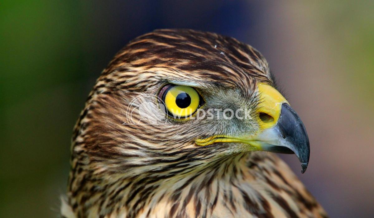 Young juvenile Goss hawk Scott Duffield