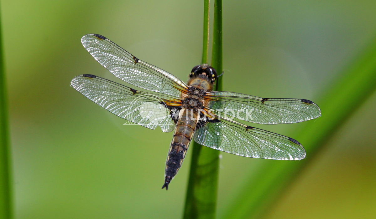 Four spot chaser dragon fly Scott Duffield